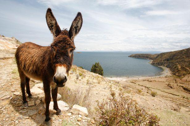 yeshua-judaismo-burro